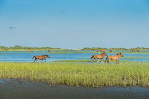 Wild horses on Carrot Island/ Rachel Carson Reserve across Taylor's Creek from downtown Beaufort.
