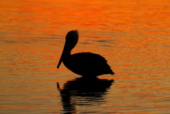 Brown Pelican - Birdwatching on Bogue Banks