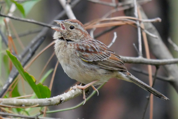 Bachman's Sparrow - Birdwatching on Bogue Banks