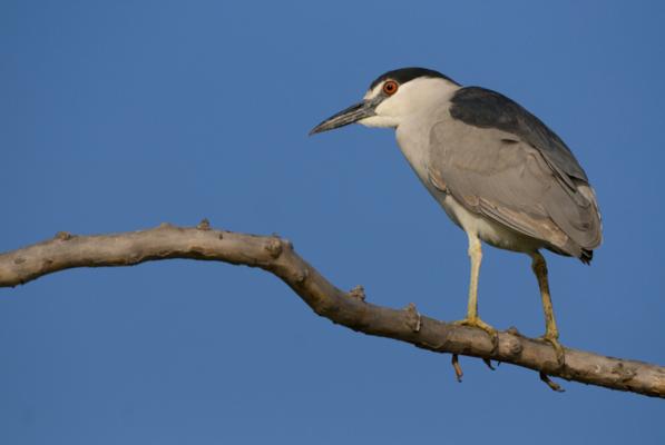 Black-crowned Night Heron - Birdwatching on Bogue Banks