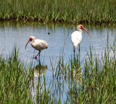 White Ibis - Birdwatching on Bogue Banks