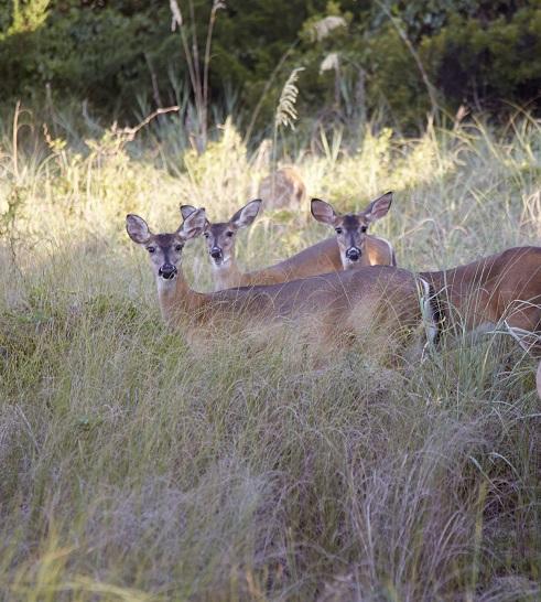 Deer on Trails in Emerald Isle