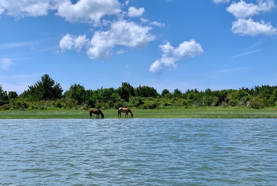 Wild Horses on Rachel Carson Reserve