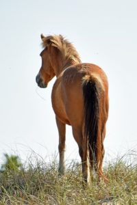 Wild Spanish Mustang in NCs Outer Banks