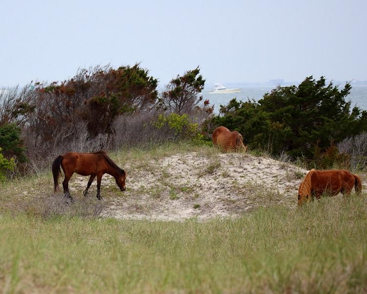 Wild Spanish Mustangs on Shackleford Banks