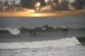 Dolphins in Waves