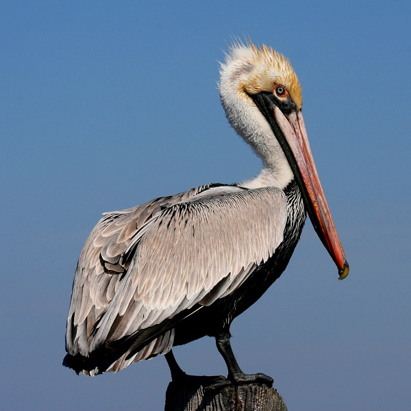 Brown Pelican - Birds of North Carolina's Crystal Coast