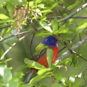 Painted Bunting - Birds of North Carolina's Crystal Coast