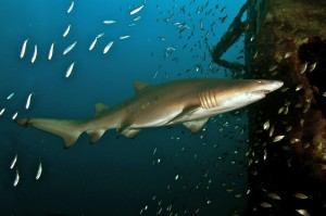 Shark near a Crystal Coast Shipwreck