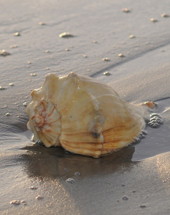 Beachcombing and Shelling on the Southern Outer Banks