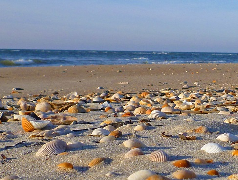 Shelling North Carolina Beaches