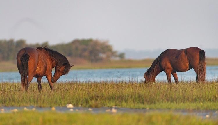 Visit the Majestic Horses of Shackleford Banks