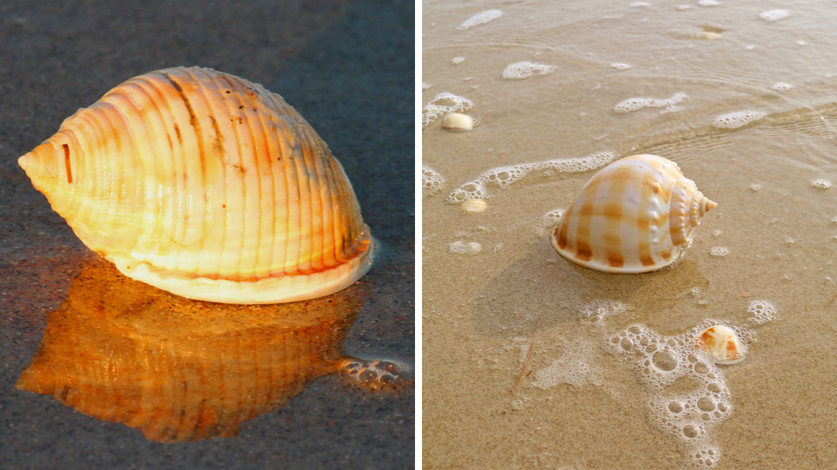 Best Shelling Beaches in North Carolina's Outer Banks - Scotch Bonnets