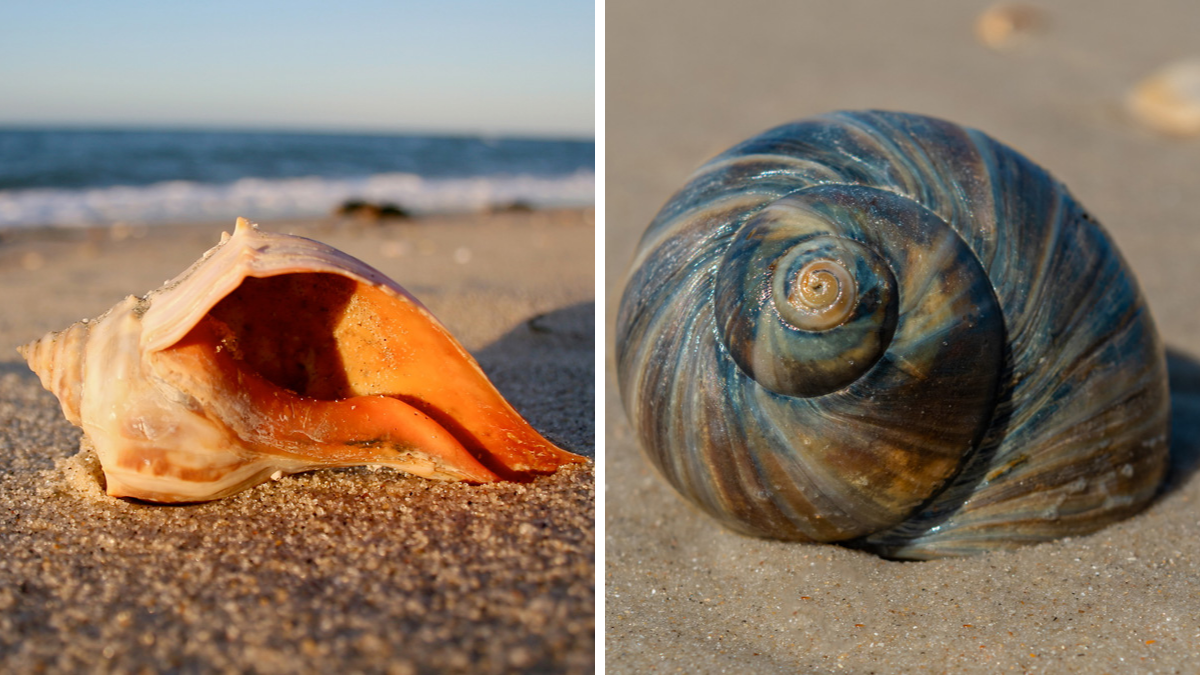 Best Shelling Beaches in North Carolina's Outer Banks - whelks and snails