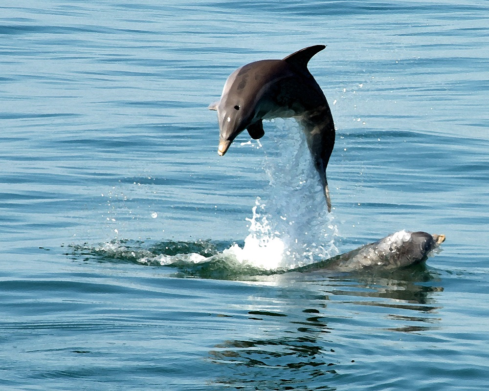 Dolphin Watching - Fun Nature Things to Do on North Carolina's Southern Outer Banks