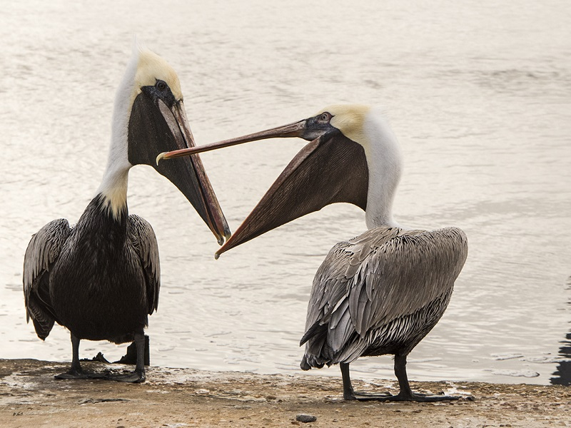 Brown Pelicans on North Carolina's Crystal Coast