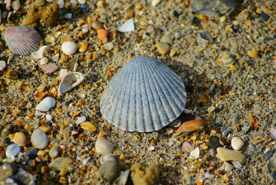Go shelling on the beaches in Emerald Isle NC