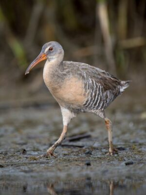 Spot Clapper Rail on Birding Trails in Emerald Isle NC