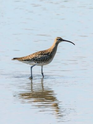 Spot a Eurosian Whimbrel on Birding Trails in Emerald Isle NC