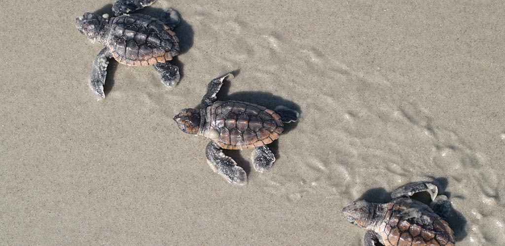Sea Turtles on Emerald Isle Beaches