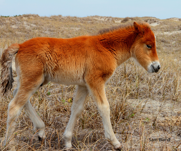 Plan-the-Perfect-Fall-Vacation-Shackleford-Foal