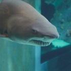 Shark at the North Carolina Aquarium