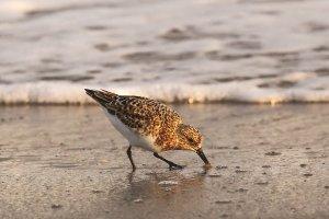 Sanderling - NC Birds