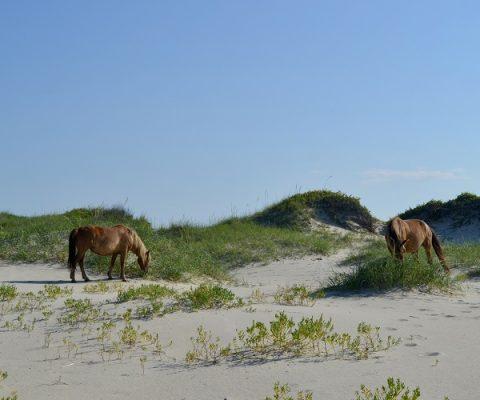 Wild Banker Horses on Shackleford Banks in Outer Banks North Carolina