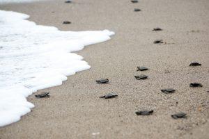 Sea Turtle Nesting Season on North Carolina's Crystal Coast