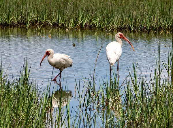 White Ibis on Carrot Island NC