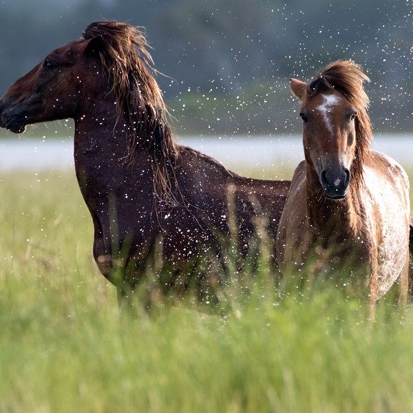Wild Horses on Shackleford Banks in the Southern Outer Banks
