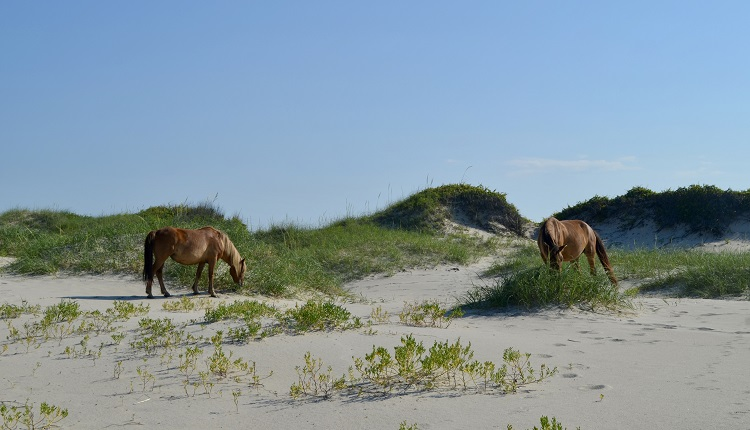 Wild Banker Horses on Shackleford Banks in Outer Banks North Carolina