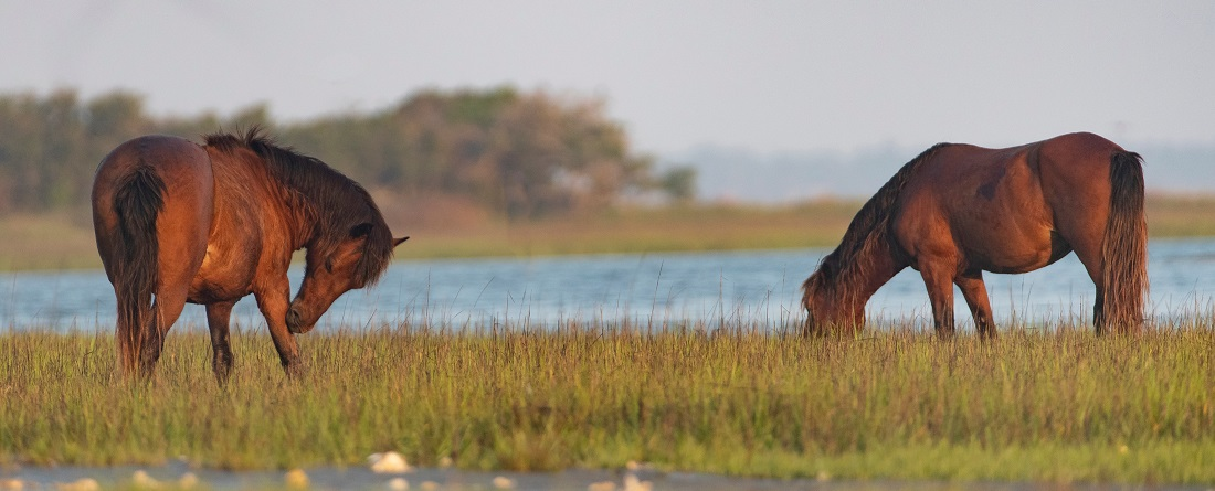 Wild Horses on Rachel Carson Wildlife Refuge near Beaufort NC