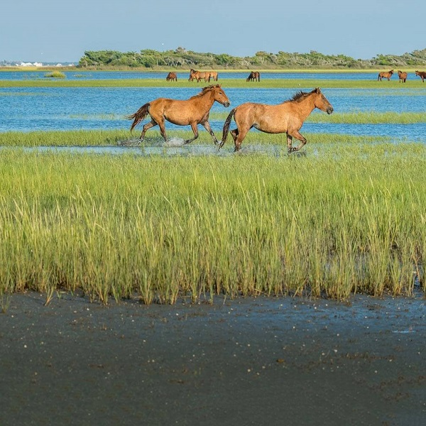 Wild Banker Horses on Shackleford Banks near Cape Lookout